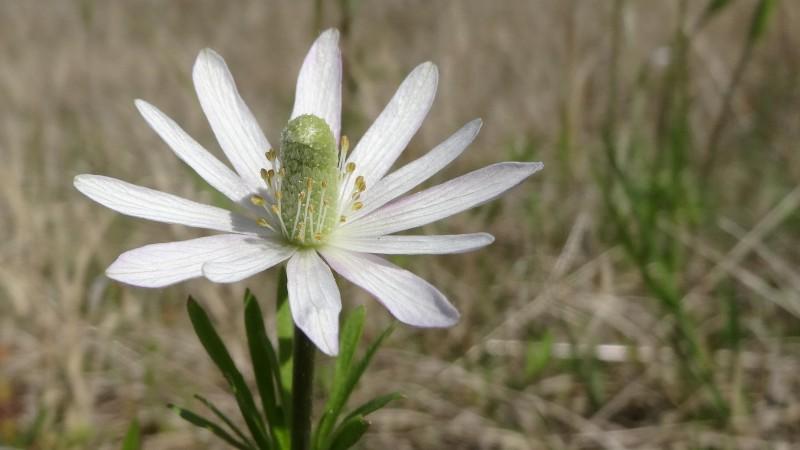 Ten-petal Anemone - Anemone Heterophylla