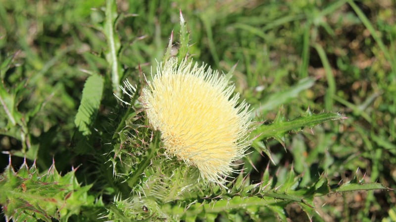 Horrid Thistle – Cirsuim Horridulum
