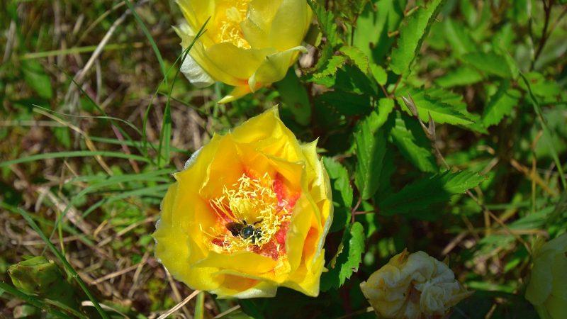 Prickly Pear Cactus - Opuntia